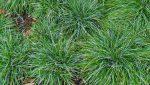 Бордюрная трава многолетняя