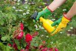 Чем подкормить розы осенью чтобы был хороший урожай