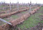 Подготовка винограда к зиме на кубани